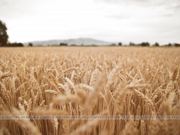 MBPhotography - Twin Falls, ID - Landscape Photography - Wheat Field, Burley ID
